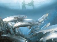 Кормление рыбы