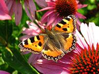 Выращивание бабочек